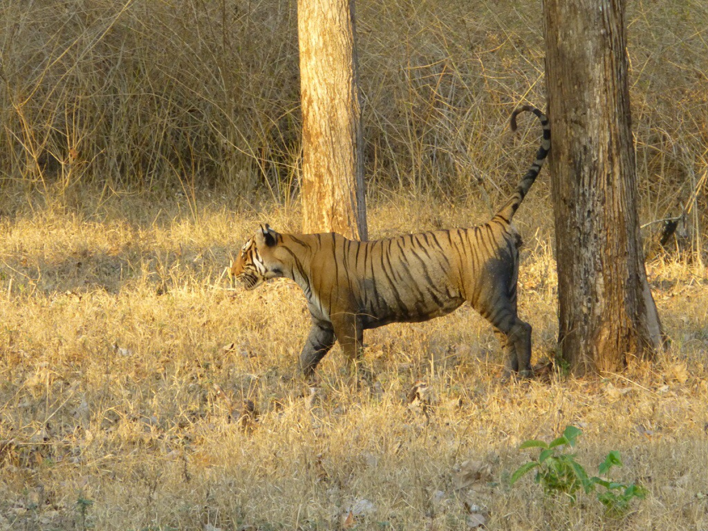 Wild Tiger in Kabini, India | kitchenoperas.com